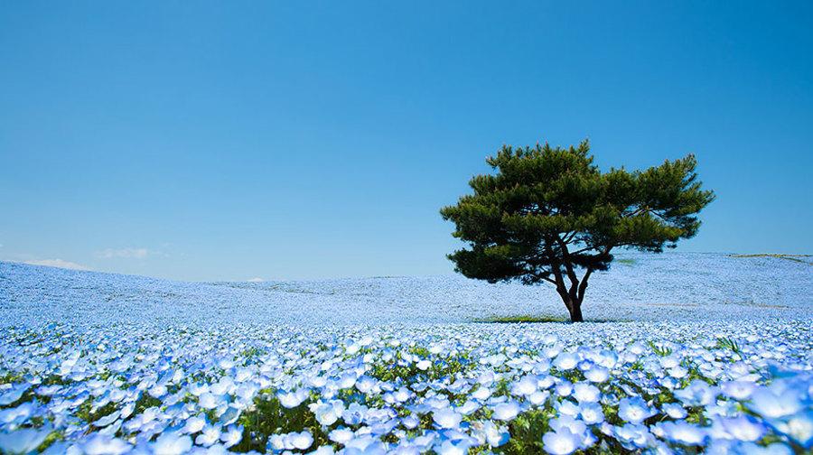 blue-flowers-hitashi-park-01.jpg